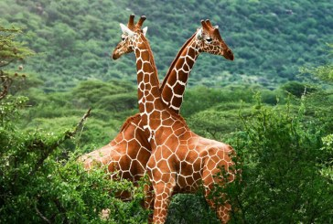 Girafele sunt amenintate cu disparitia, avertizeaza activistii ecologisti