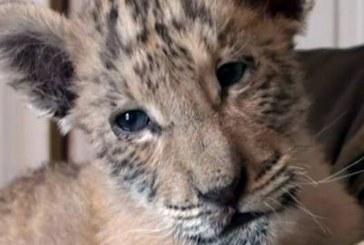 Un pui de ligru, un animal rar, a venit pe lume la o gradina zoologica din Rusia