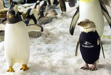 Un pinguin din parcul SeaWorld si-a recapatat penele datorita unui costum termic