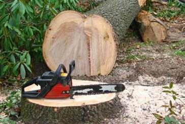 Maramuresean cercetat pentru taiere fara drept de arbori