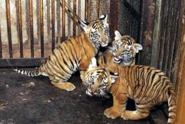 Trei pui de tigru ramasi orfani in India cresc alaturi de o mama din plastic