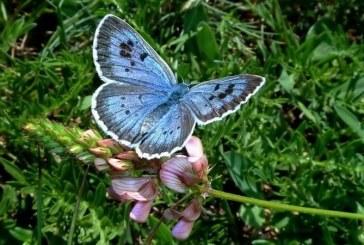 Un britanic a fost declarat vinovat pentru uciderea a doi fluturi dintr-o specie rara