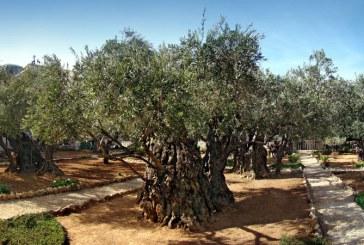 Gradina Ghetsimani, locul in care Iisus Hristos venea adesea sa se roage (VIDEO)