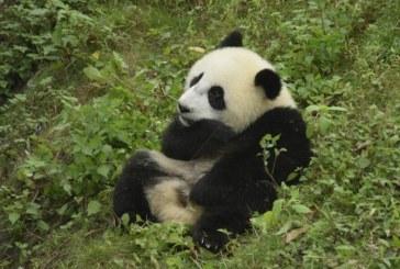 China va infiinta un parc urias dedicat ursilor panda
