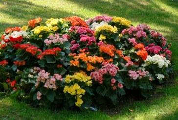 Baia Mare, orasul florilor: 500.000 de rasaduri vor infrumuseta municipiul