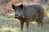 Germania va ridica un gard la graniţa cu Polonia pentru a se proteja de pesta porcină africană