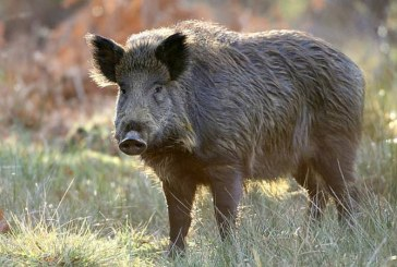 Discutii la Prefectura pe tema problemelor produse de porcii mistreti