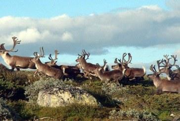 Autoritatile norvegiene au decis sacrificarea a 2000 de reni pentru a eradica o epidemie de encefalopatie spongiforma