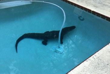 O familie din Florida a gasit un aligator masiv pe fundul propriei piscine