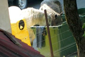 Prezenta cailor pe drumurile si spatiile verzi din Baia Mare, dezbatuta in sedinta de Consiliu Local