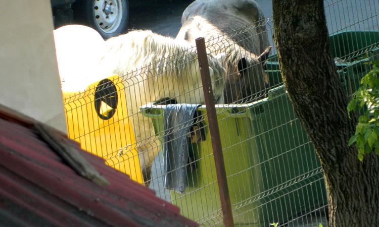 De la cititori: Cai surprinsi cautand prin gunoaie, in Baia Mare (FOTO)