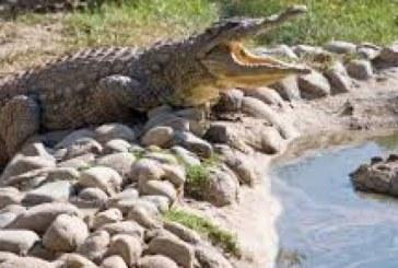 Mexican atacat de un crocodil in piscina hotelului la care lucra