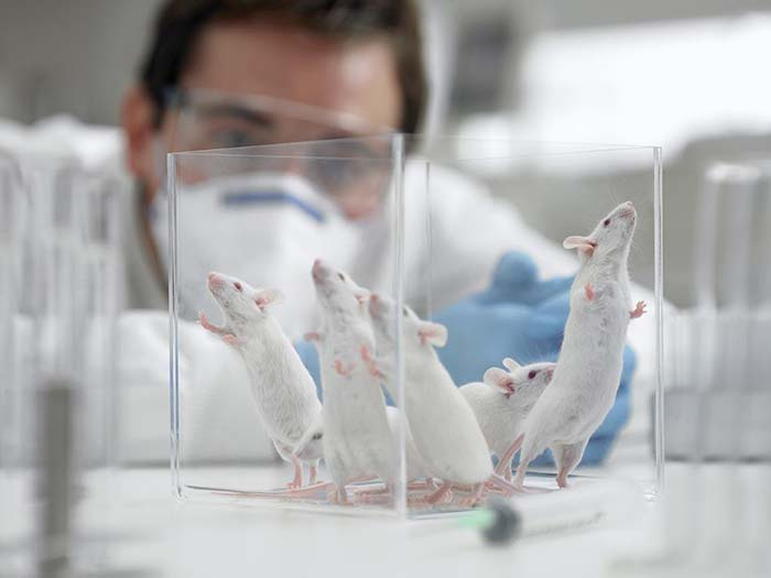 slăbire de șobolan