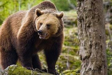 Senat: Ursul a fost inclus, pentru 5 ani, pe lista animalelor ce pot fi vanate in anumite conditii