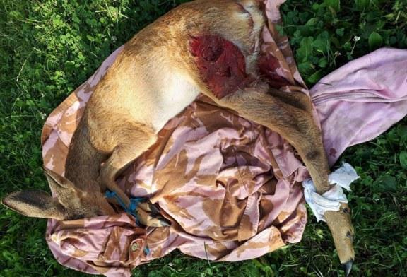 Miresu Mare: Caprioare macelarite de cainii localnicilor. Politia refuza sa intervina