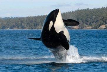 Canada a adoptat un proiect de lege ce interzice cresterea balenelor si delfinilor in captivitate