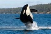 Marimea pana la care poate ajunge o balena, influentata de disponibilitatea prazii si modul de hranire