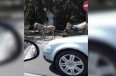 Administratie incapabila! Prin Baia Mare, carutele circula liber. Politia inchide ochii