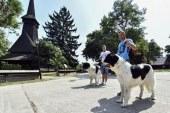 Animale de companie: Ciobanescul romanesc de Bucovina