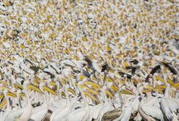 Mii de pelicani migratori care ajung in Israel primesc tone de mancare din partea statului