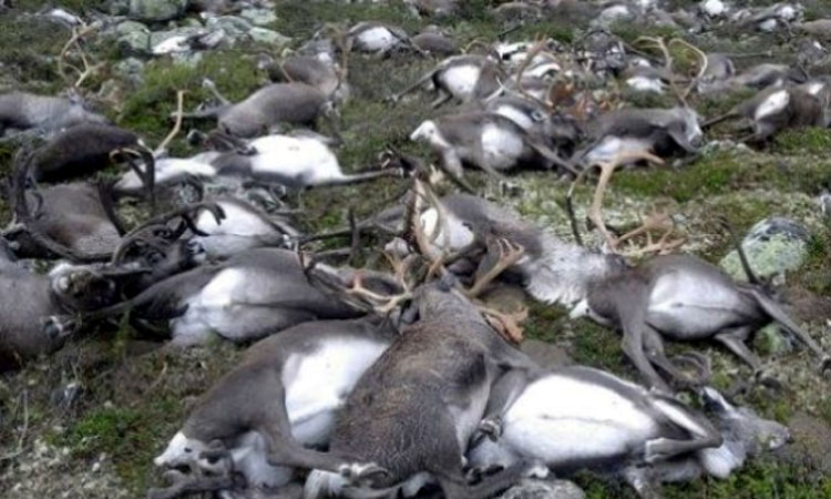 Transhumanta de cosmar in Norvegia: Peste o suta de reni, ucisi de trenuri in nordul tarii