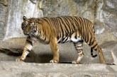 India: Un recensământ al tigrilor stabileşte recordul pentru cel mai amplu inventar realizat cu camere de supraveghere