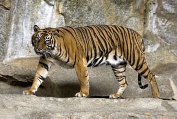 India – Populatia de tigri a ajuns la aproximativ 3.000 de exemplare, gratie programelor de conservare a naturii