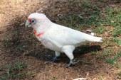 """O specie de pasari indigene numite de localnici """"arme de distrugere in masa cu pene"""" provoaca haos in Australia"""