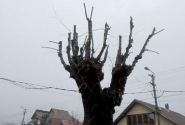 Primaria Baia Mare, anunt despre toaletarea arborilor din oras