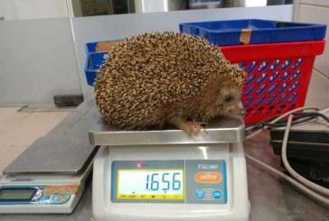 Un arici corpolent, pus la dieta de o gradina zoologica din Israel