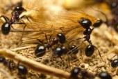 """Furnicile ranite in lupta sunt ajutate de """"medicii"""" coloniei care aplica un """"pansament"""" unic in regnul animal"""
