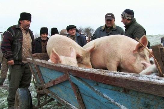 Masuri de prevenire pentru aparitia pestei porcine africane in Maramures