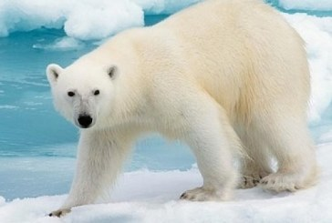 Studiu: Ursii polari nu gasesc suficiente foci pentru a-si potoli foamea