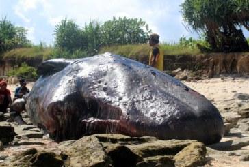 In stomacul unui casalot gasit mort pe o plaja din Spania au fost gasite 29 kg de deseuri din plastic