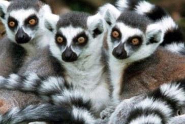 Studiu: Lemurienii supusi unui regim alimentar hipocaloric traiesc mai mult
