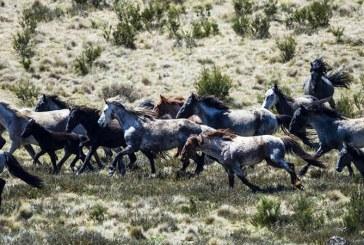 Un plan pentru sacrificarea a cateva mii de cai salbatici din Australia a fost anulat