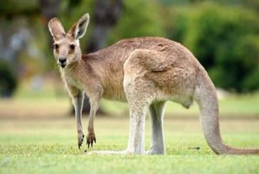 Australia: Cangurii vor fi impuscati pentru a servi drept hrana animalelor de companie