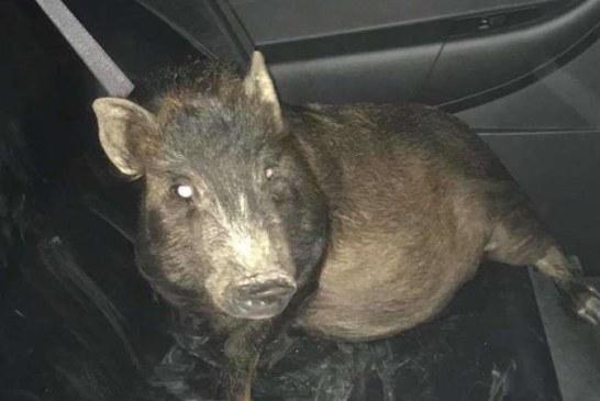 Un american a chemat politia pentru ca era urmarit de… un porc insistent