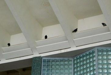 Pata neagra: Gara Baia Mare, adapost pentru porumbei (FOTO)