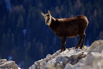 Peste 80 de exemplare de capra neagra identificate in Muntii Rodnei