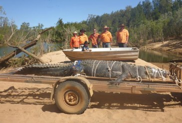Un crocodil de 600 de kilograme, capturat in nordul Australiei dupa zece ani de cautari