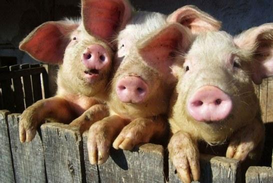 Pesta porcina se apropie de Maramures. In Satu Mare sunt 14 localitati cu cazuri confirmate