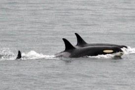 "O orca in ""perioada de doliu"" si-a purtat puiul mort timp de 17 zile"