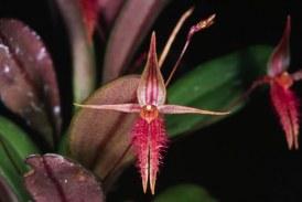 O noua specie de orhidee a fost descoperita in jungla amazoniana din Peru