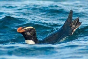 Incredibilul maraton al unui pinguin din Noua Zeelanda