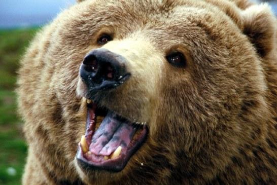 Jandarmeria Maramures: Sfaturi pentru evitarea atacurilor ursilor