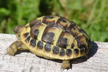 Franta: Un numar de 56 de testoase dintr-o specie protejata au fost furate dintr-un parc cu animale din Corsica