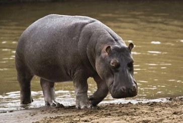 Zambia va relua planul de sacrificare a 2.000 de hipopotami in urmatorii cinci ani