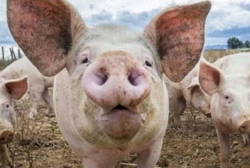 Pesta porcina africana confirmata la un porc domestic din localitatea Sabisa. DSVSA asteapta si confirmarea de la Bucuresti