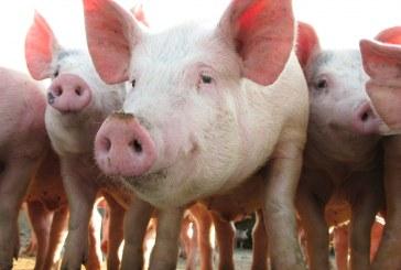Romania inregistreaza 1.092 de focare de pesta porcina africana; 360.800 porci au fost eliminati